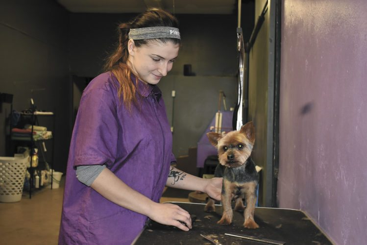 -Messenger photo by Chad Thompson  Justina Sheehan, owner and groomer of Wag Swag Dog Grooming, prepares to groom Chaz, a Yorkshire terrier, at her business along Central Avenue, recently.
