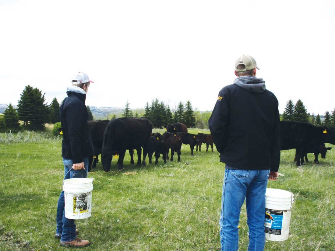 Allan Blanks/MDN Travis Johnson, left, and his brother Tanner provide feed to the cattle at the Johnson farm in the Burlington area.