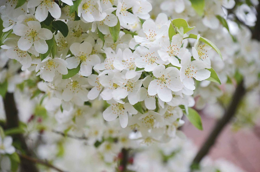 Eloise Ogden/MDN This spring snow crabapple tree in Scandinavian Heritage Park along South Broadway in Minot is loaded with white blossoms. Brian Johnson, Minot city forester, said the spring snow crab is a fruitless tree. Many flowering trees are blooming in the city right now.