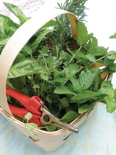 Submitted Photo Growing, harvesting and preserving herbs allows you to enjoy fresh-from-the-garden flavor all year round. Photo from Bonnie Plants.