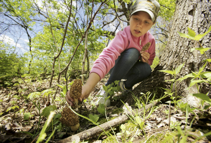 In this photo taken Saturday, May 6, 2017, McKenna Michel, 9, picks a morel mushroom on her grandparents' farm near Ithaca, Wis. (Amber Arnold/Wisconsin State Journal via AP)