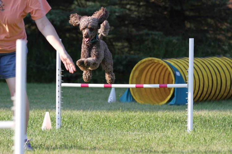 Submitted Photo  Canine contenders will dart through a tunnel during the 2017 NADAC Agility Trial, today through Sunday at the Dakota Boys & Girls Ranch Riding Arena located at 6301 19th Avenue NW, Minot.