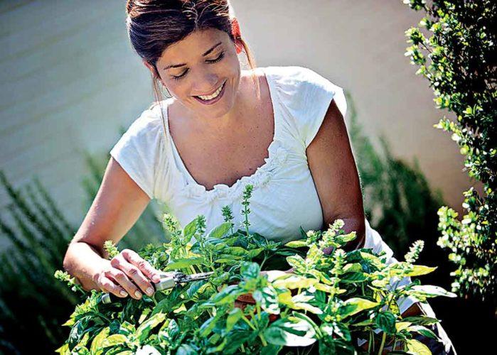 Harvesting-basil_horiz_photo_credit_Bonnie_Plants
