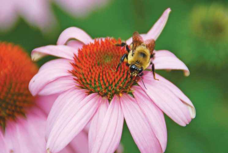 Submitted Photo A bee on a coneflower is shown in this photo from Melinda Myers, LLC. Bees help  maximize a garden's productivity by pollinating plants.