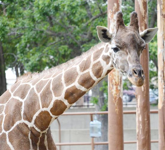 Celebrating giraffes