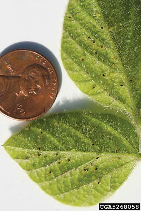 Submitted Photo Aphids will attack annual and perennial flowers, fruit plants and trees, vegetable plants as well as trees and shrubs. Photo from Christina DiFonzo, Michigan State University, Bugwood.org.