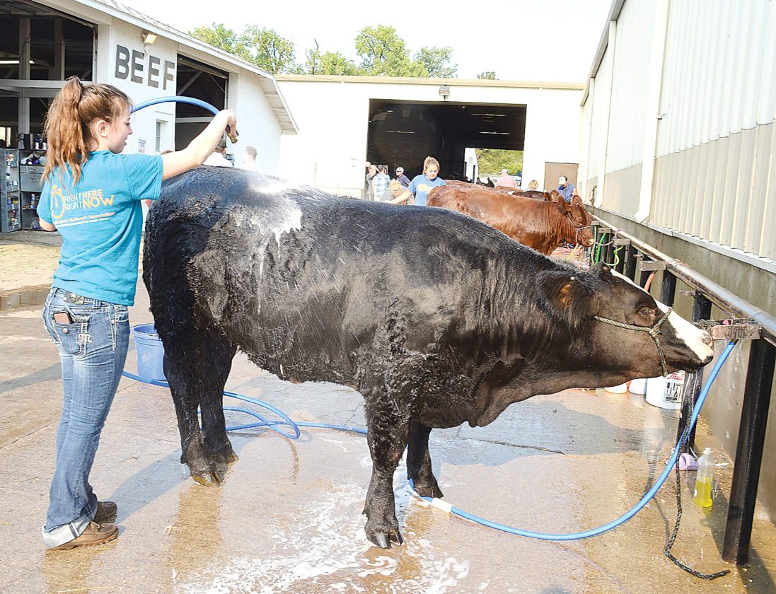 Eloise Ogden/MDN Jessica Podoll, of Westport, S.D., washes her steer early Monday morning at the North Dakota State Fair in Minot. This is her first year to show cattle at the fair.