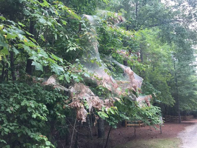 Fall web worms and their messy web nest are an eye sore. The easiest way to control them is to wait until late evening when the caterpillars have returned to the nest. Photo from K. Oten, NCFS.  Submitted Photo