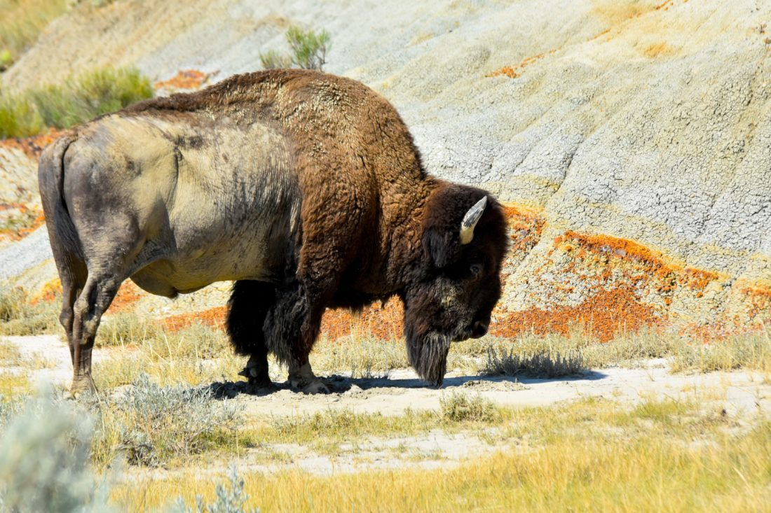 Garrick Hodge/MDN : A bison roams around Monday at Theodore Roosevelt National Park.