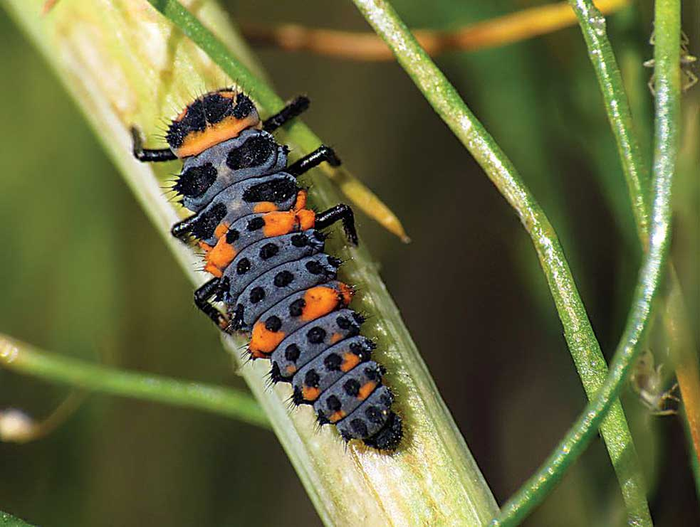 Submitted Photo  Lady bug larvae are great pest predators.
