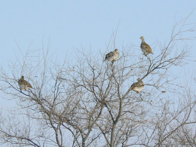 Kim Fundingsland/MDN While the state's sharp-tailed grouse, shown here, and the Hungarian partridge season don't open until Sept. 9, four of the state's hunting seasons open this Friday – deer and pronghorn bow, dove and mountain lion.
