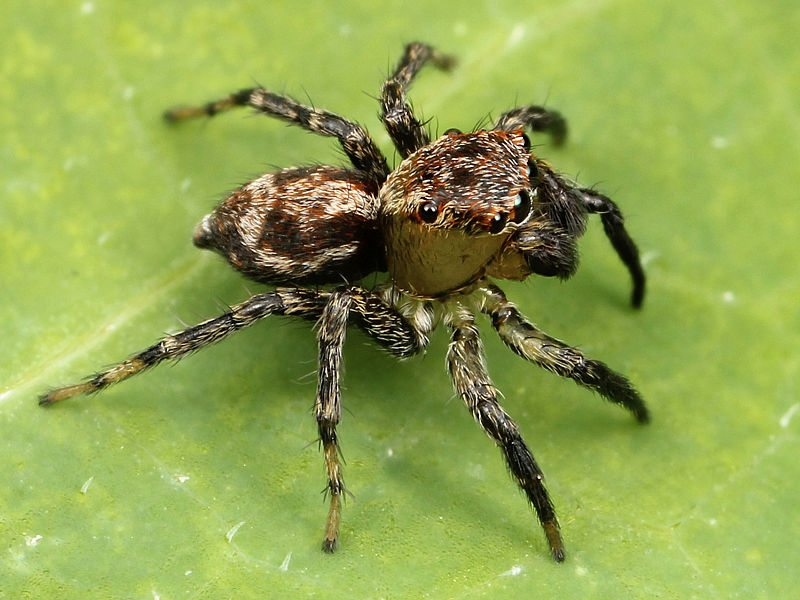 Submitted Photo  A jumping spider is one of garden's good guys.
