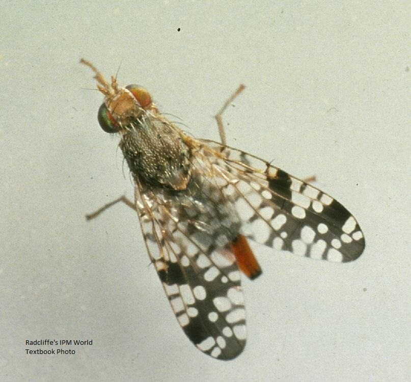 Picture Wing Fly