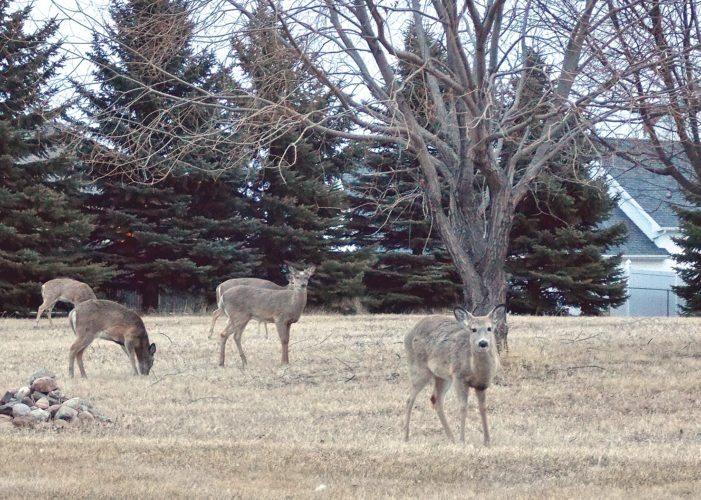 File Photo Deer graze in Rosehill Cemetery in southeast Minot.
