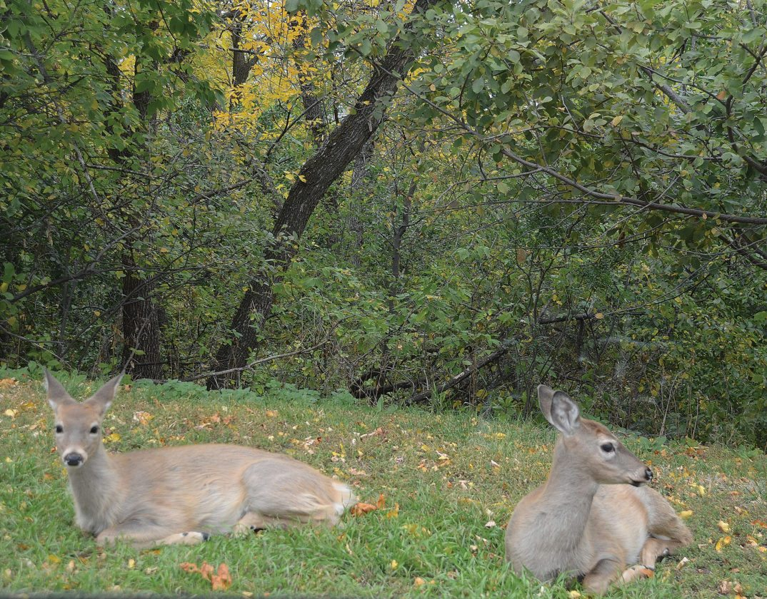 Eloise Ogden/MDN Deer rest in an open grassy area by a residential area in southeast Minot on Tuesday.