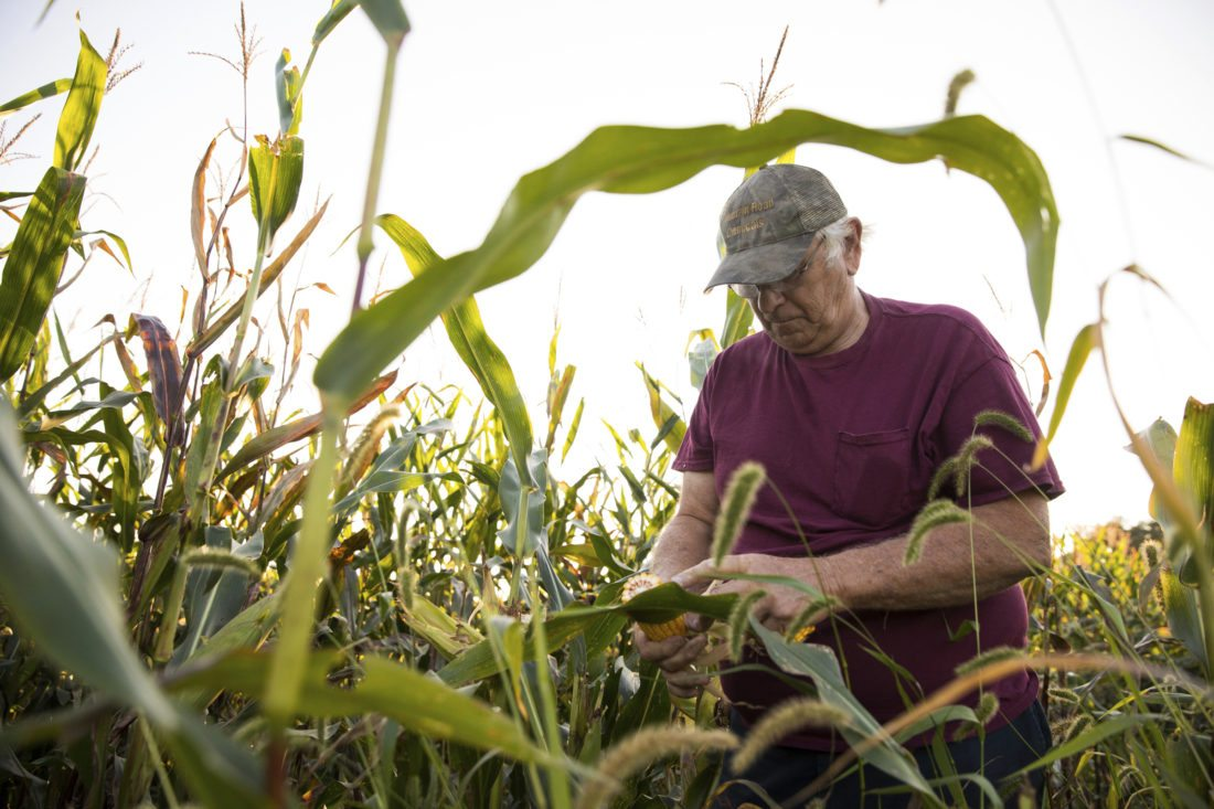In a Wednesday, Sept. 20, 2017 photo, farmer Andy Zagata checks his corn crop on a property in Huntington Twp, Pa. near Shickshinny. The 69-year-old part-time farmer benefitted from incentives as part of a Luzerne Conservation District conservation farming program encouraging no-till farming and planting cover crops. (Christopher Dolan/The Citizens' Voice via AP)
