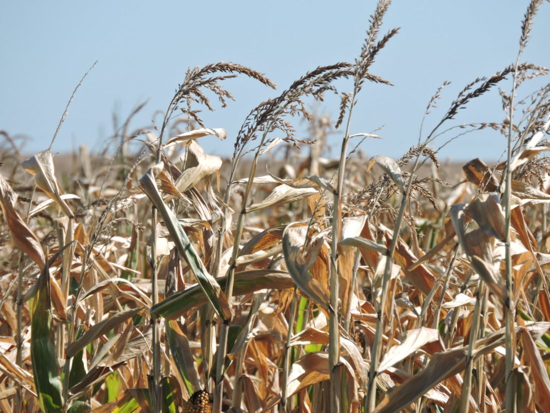 A field of corn waits to be harvested northwest of Minot. Yields are expected to vary considerably due to predominantly dry conditions that prevailed throughout the summer over much of the Minot area.  Kim Fundingsland/MDN