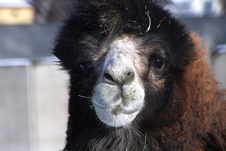 Submitted Photo Hufferja, better known as Poopy, a male camel at Roosevelt Park Zoo in Minot, shown here, died in September and the female camel died earlier. Zoo officials are looking into replacing them.