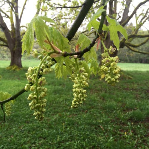 This April 4, 2016 photo provided by Dean Fosdick shows blooms on a Big Leaf Maple tree near Langley, Wash., which are among the first to arrive — providing floral nectar and pollen for early-season foraging bees. Trees are among the earliest pollinator plants to bloom in spring. People often overlook trees and their importance to pollinators desperate to find food in early spring. (Dean Fosdick via AP)