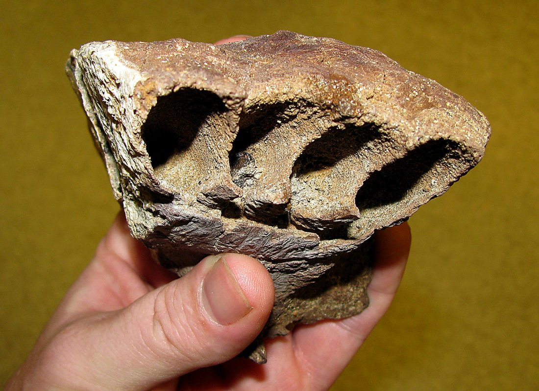 Submitted Photo Tyrannosaur jaw,