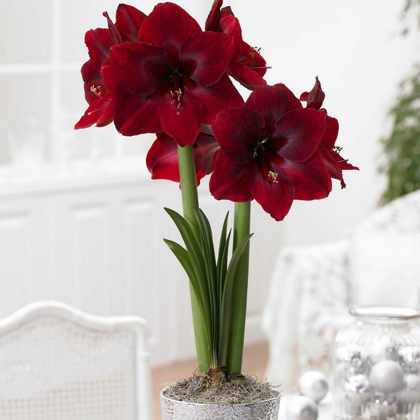 """Red Pearl,"" a newer variety of amaryllis, has huge red velvety flowers that are deep crimson, overlaid with burgundy and maroon. Photo from Longfield-Gardens.com.  Submitted Photo"