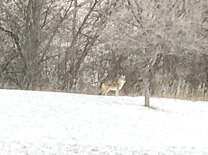 Submitted Photo This coyote was photographed in northwest Minot earlier this week. It appeared to have emerged from a coulee bordering the backyards of several homes.