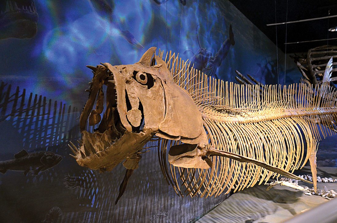 Eloise Ogden/MDN The suspended skeleton replica of the Xiphactinus, a 16-foot-long tarpon-like fish, is displayed in the Geologic Time Gallery in the North Dakota Heritage Center and State Museum.