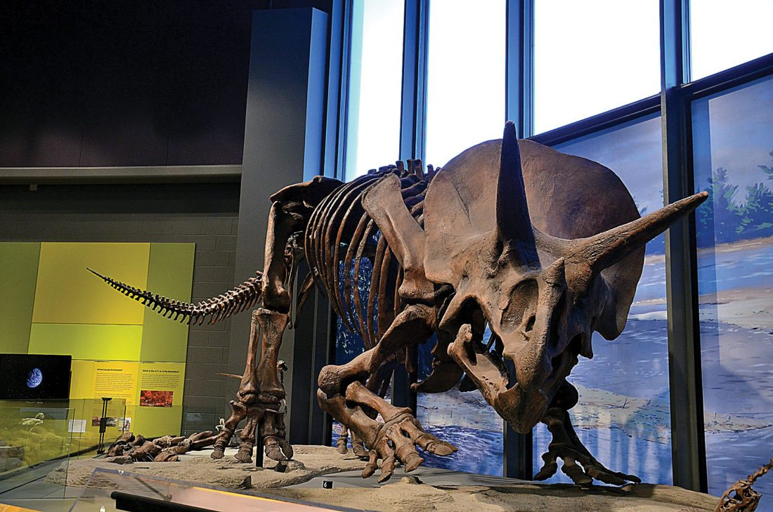 Eloise Ogden/MDN Triceratops, one of the largest and heaviest of the horned dinosaurs, once lived in what is now North Dakota. It is in the Geologic Time Gallery in the North Dakota Heritage Center and State Museum.