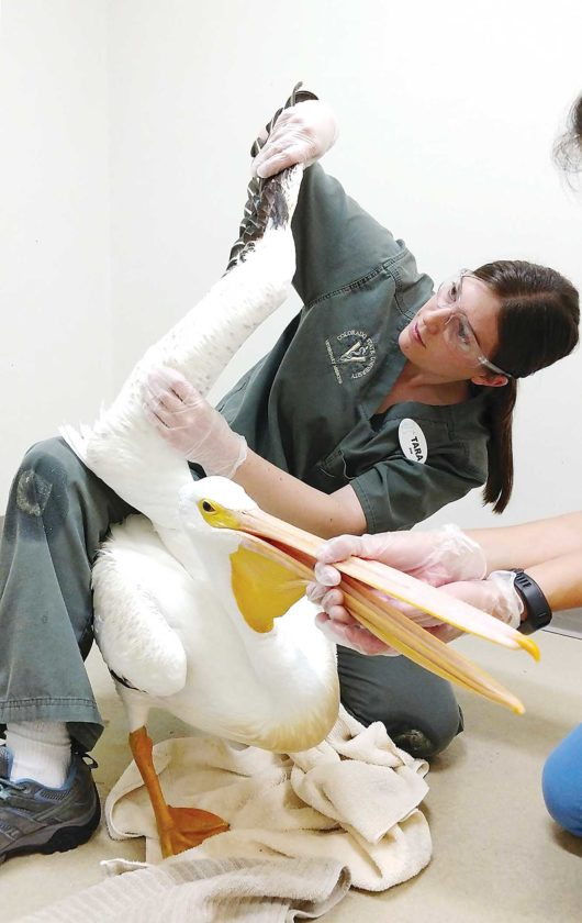 Submitted Photo Tara Reilly is the new veterinarian at Roosevelt Park Zoo in Minot. In the photo she is checking a pelican's wing while working toward her veterinary medicine degree.