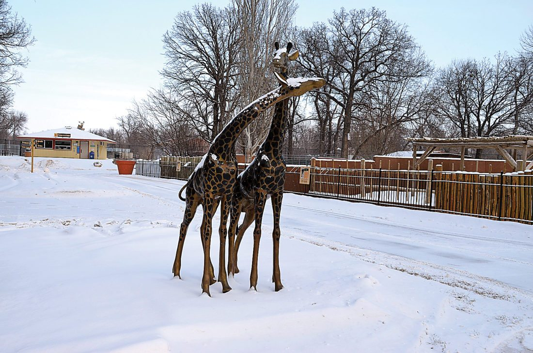 Eloise Ogden/MDN Minot's Roosevelt Park Zoo is relatively quiet on this cold winter day on Friday. Some animals venture out in the frigid weather.