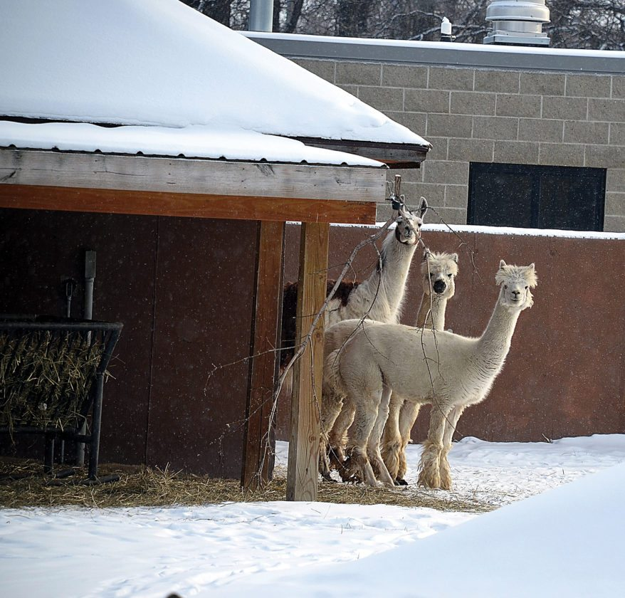 Eloise Ogden/MDN The llamas at Roosevelt Park Zoo stayed close to their shelter on Friday when the temperature dipped below zero.