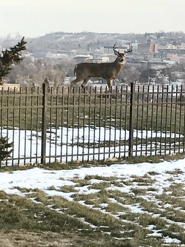 Submitted Photo This white-tailed deer was photographed atop a hill in northwest Minot this past November. Sightings of a large buck deer in the northwest section of the city, presumably this one, have been reported for the past several weeks.