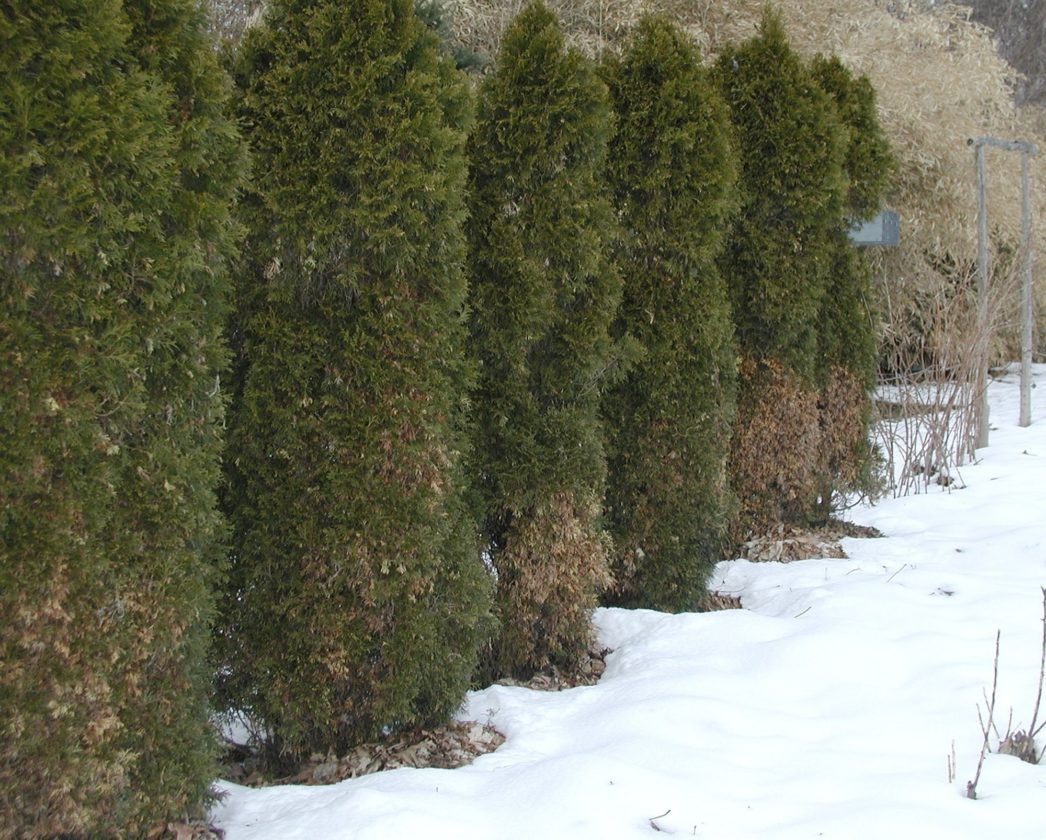 This undated photo shows winter burn of arborvitae leaves in New Paltz, N.Y. A few measures can be taken to lessen the chance of the leaves of your evergreen browning in winter. (Lee Reich via AP)
