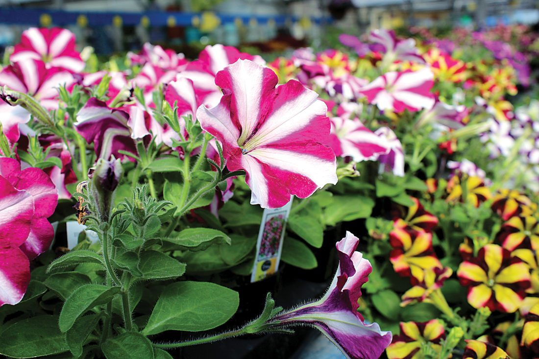 Ashton Gerard/MDN Many Varieties Of Petunias Are Available At Loweu0027s Floral  And Garden Center To Spruce Up Those Flower Beds.