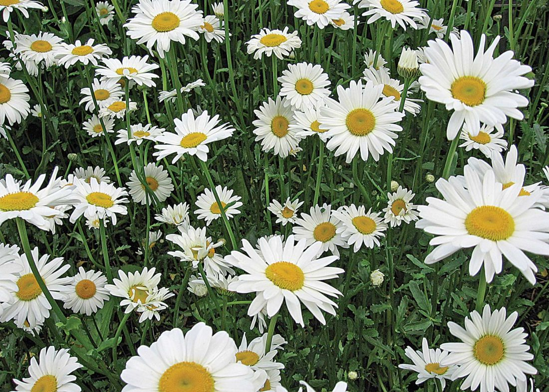 Harvest and dry flowers for year round enjoyment news sports flat faced flowers like daisies should be dried face down on a flat surface to prevent them from closing shown in this photo from melinda myers llc izmirmasajfo