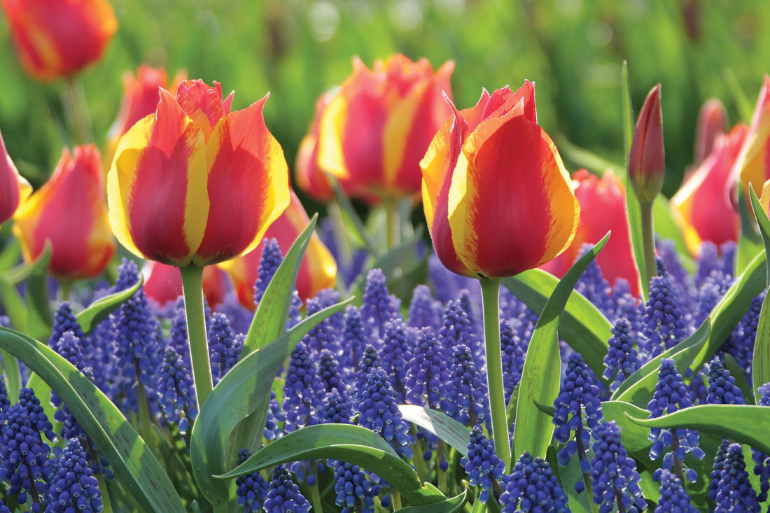 Plan and plant this fall for three months of spring color news plan and plant this fall for three months of spring color news sports jobs minot daily news mightylinksfo