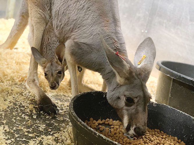 New kangaroo with joey at Minot's Roosevelt Park Zoo