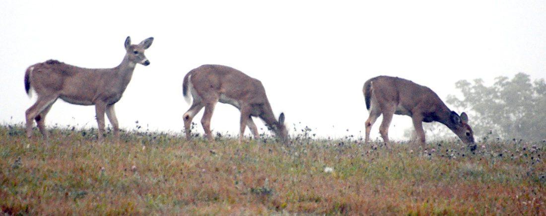 Deer Mist 1 pat