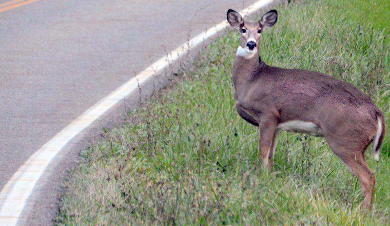 Bambi 1a pat