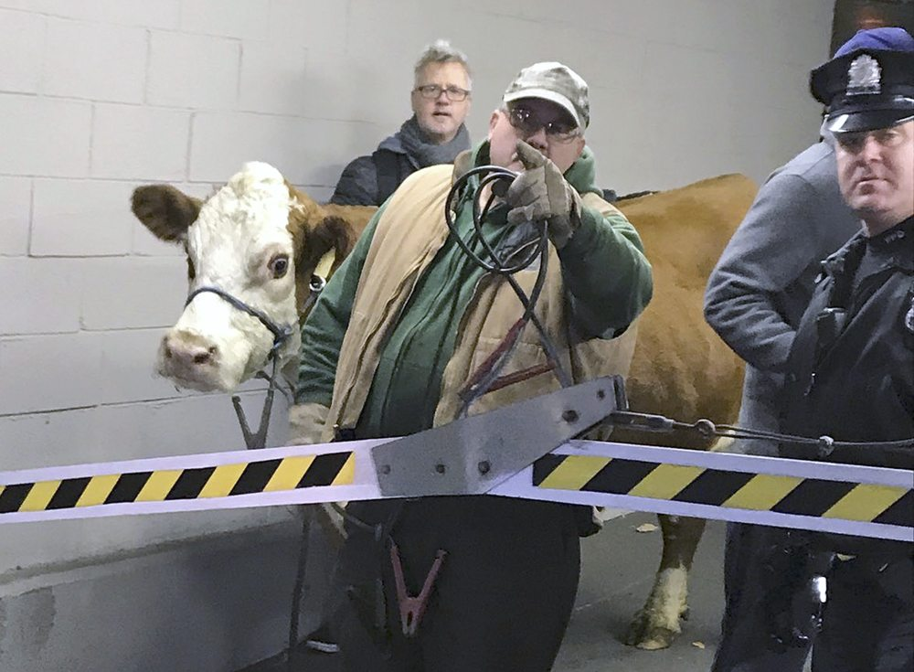 Police Capture Cow That Escaped From Nativity Scene Twice