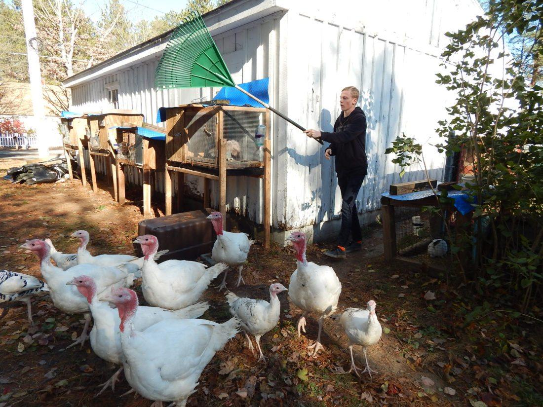 talkin u0027 turkey amherst farm a family affair news sports jobs