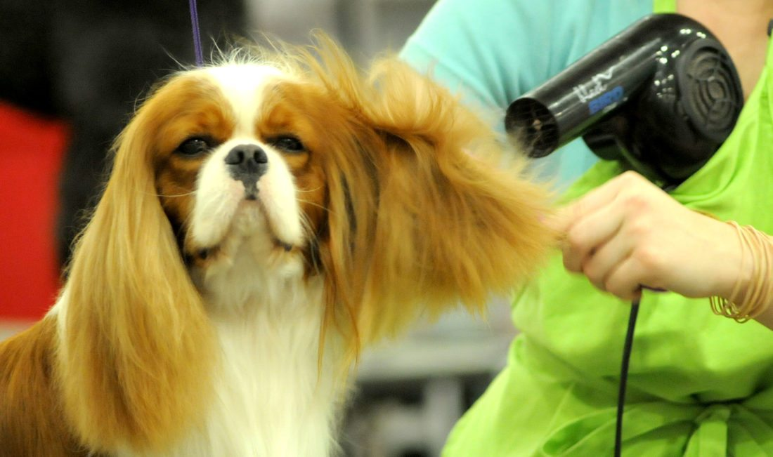 Dogs will be looking their best and trying to do their best at the Old Fort Cluster Dog Show today through Sunday at Memorial Coliseum. (News-Sentinel.com file photo)