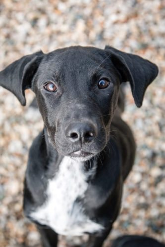 Hello! I'm Bragi. I'm a young pup who traveled on an ASPCA transport all the way from Mississippi to Indiana to find my forever home! Like most puppies, I'm sweet yet spunky. I love to play, but after a long, exciting day, I'm ready to snuggle in and snooze the night away! I'm only four months old and still learning about the world around me, so I would benefit from training classes to help me grow into the best dog that I can be. If you're interested in raising a pup like me, visit the Allen County SPCA today! Animal ID: 37103795; Breed: Mixed Breed; Age: 4 months; Sex: Male; Size: Large; Color: Black/White;  Weight: 24 lbs.;  Neutered: Yes