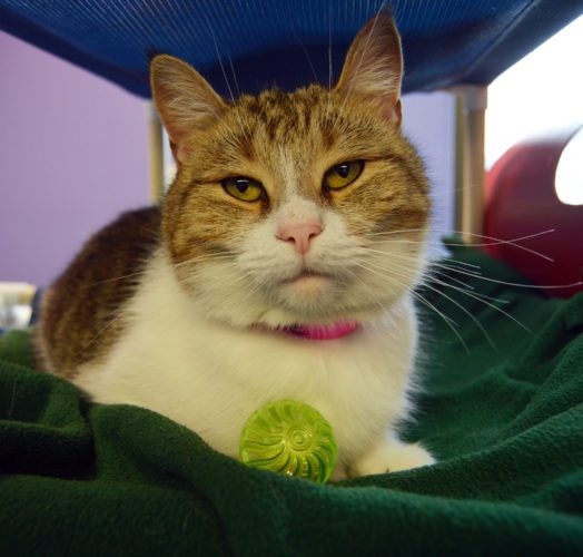 Hello! I'm Chloe. I'm a cute cat with a cuddly and friendly personality! I love to be pet, and I especially love scratches under my chin. Occasionally, I'll play with a toy, but I mostly enjoy lounging and taking cat naps. If you're looking to fill your life with a new companion, please consider me for your home! Meet me in person at the Allen County SPCA today. Animal ID: 36371397  Breed: Domestic Shorthair/Mix  Age: 4 years  Sex: Female  Size: Small  Color: White/Brown  Weight: 8.5 lbs.  Spayed: Yes  Declawed: No