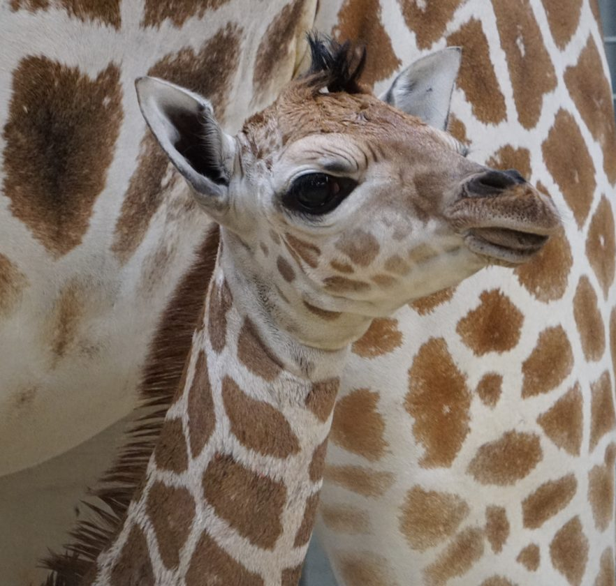 Thabisa, a female reticulated giraffe, was born Nov. 21 at the Fort Wayne Children's Zoo, the zoo announced Thursday. (Courtesy of Fort Wayne Children's Zoo)