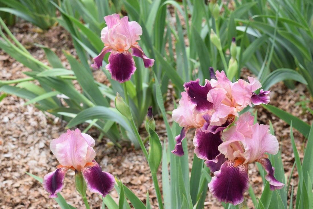 Iris Man Don Goss Has A Field Of Flowers For Sale In Fort Wayne