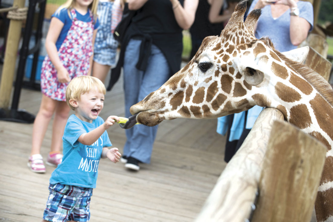 Photo courtesy ExperienceColumbus.com A giraffe enjoys a piece of lettuce from an excited young boy's hand at the Columbus Zoo and Aquarium's Heart of Africa.
