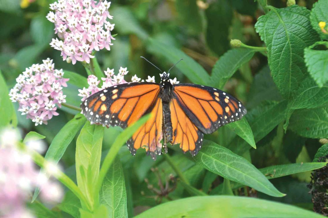 thomson u0027s landscaping offers look at butterflies news sports