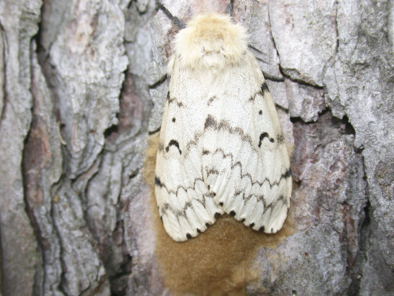 the european gypsy moth threat in chesapeake bay The gypsy moth caterpillar is the most serious threat to forests comprised of oak in the united states gypsy moths reach greatest densities where oaks are the most abundant trees if you have oak trees on your property, gypsy moths pose a threat to the beauty and value of your land.