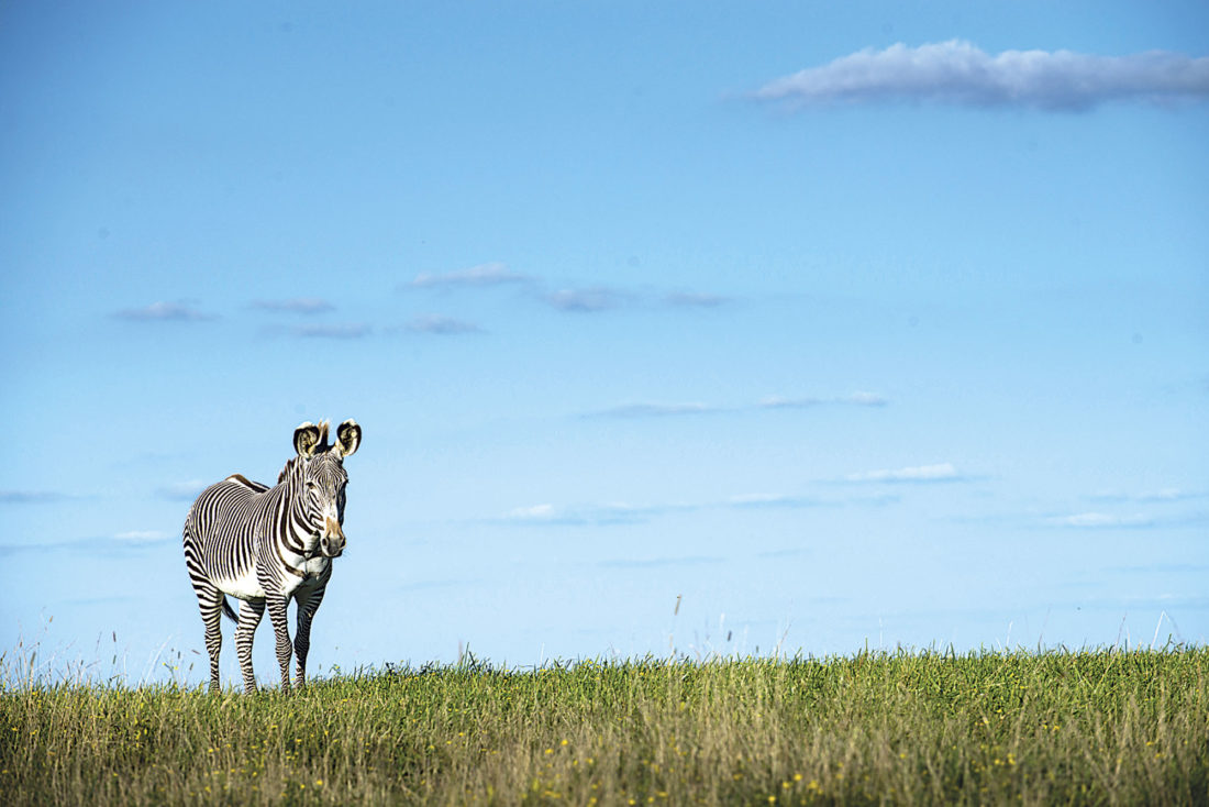 Photos provided by The Wilds A zebra stands in the open-range park.
